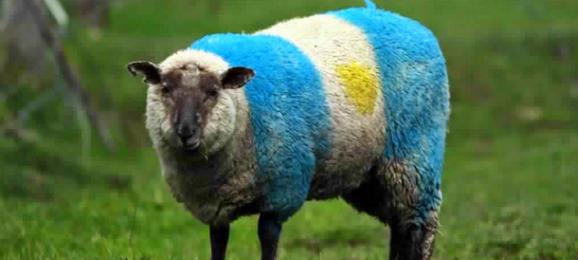 mouton argentin